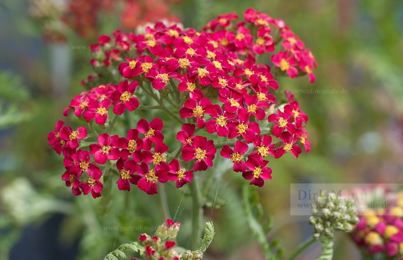achillea millefolium 39 paprika 39 rote schafgarbe pflanzenreich. Black Bedroom Furniture Sets. Home Design Ideas
